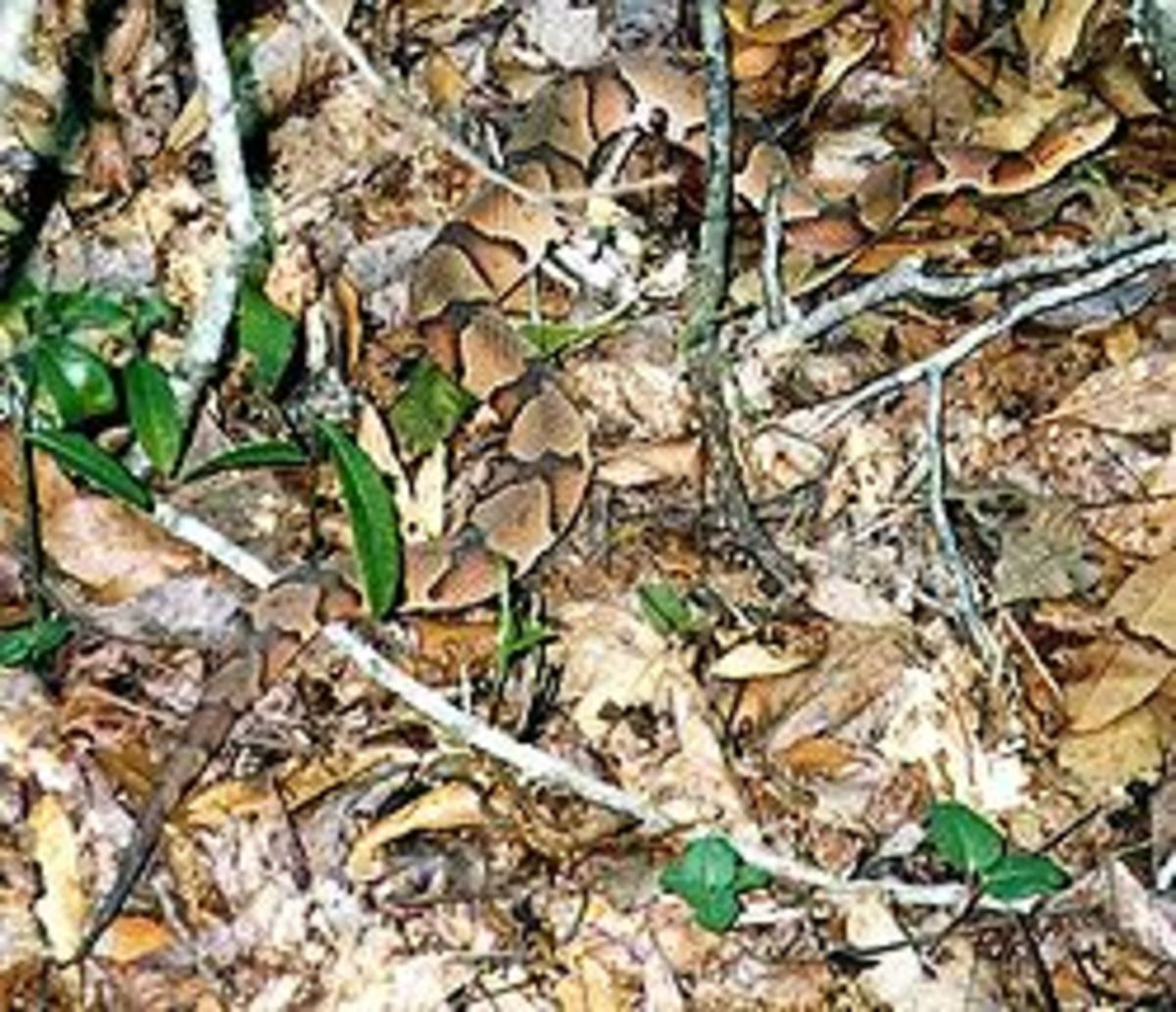the-copperhead-an-american-venomous-pit-viper