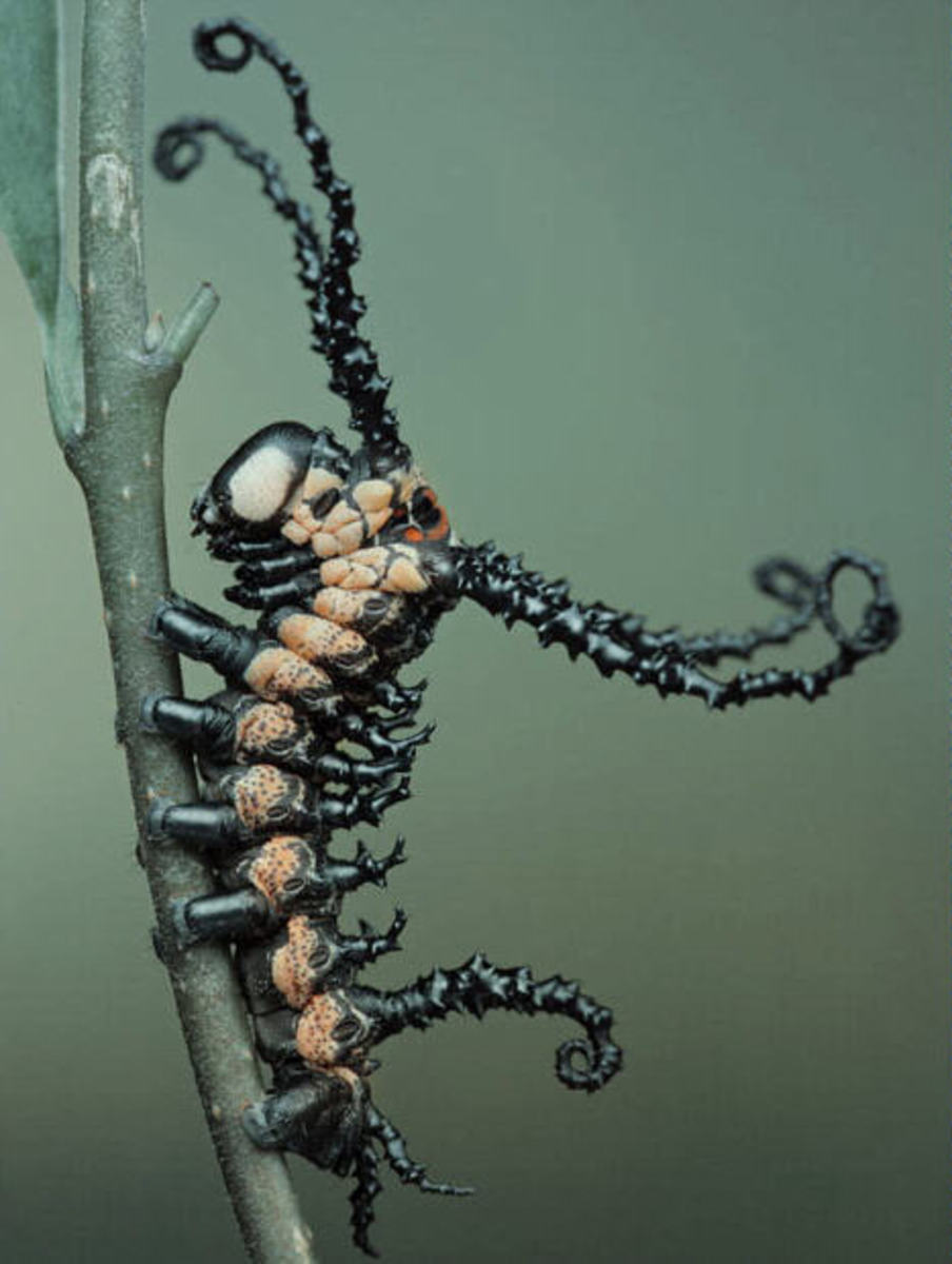 This rather wicked looking caterpillar transforms into a very impressive insect of the order Lepidoptera. Hint: The wording of the question should eliminate half the possible answers if you have read the hub!