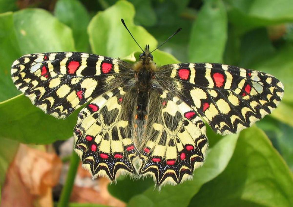 Spanish Festoon Butterfly