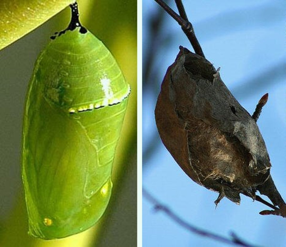 A butterfly chrysalis on the left and a moth cocoon on the right.