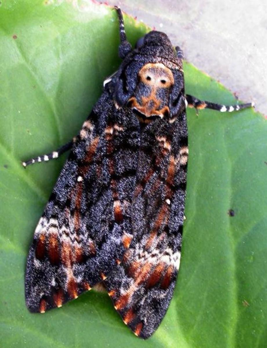 Death's Head Moth