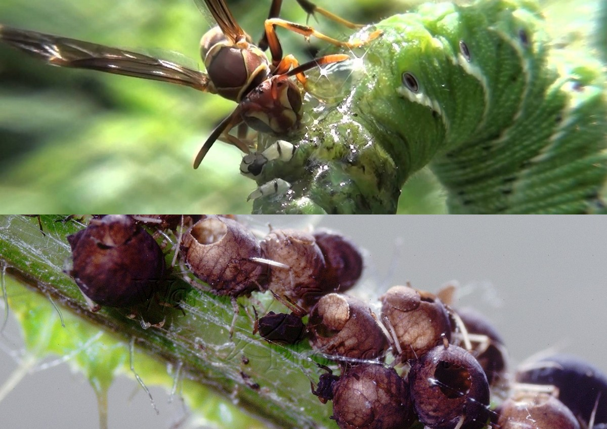 Parasitic Braconid wasp on a tomato hornworm -top   Aphid mummies- the result of parasitising by the Encarsia formosa wasp- bottom