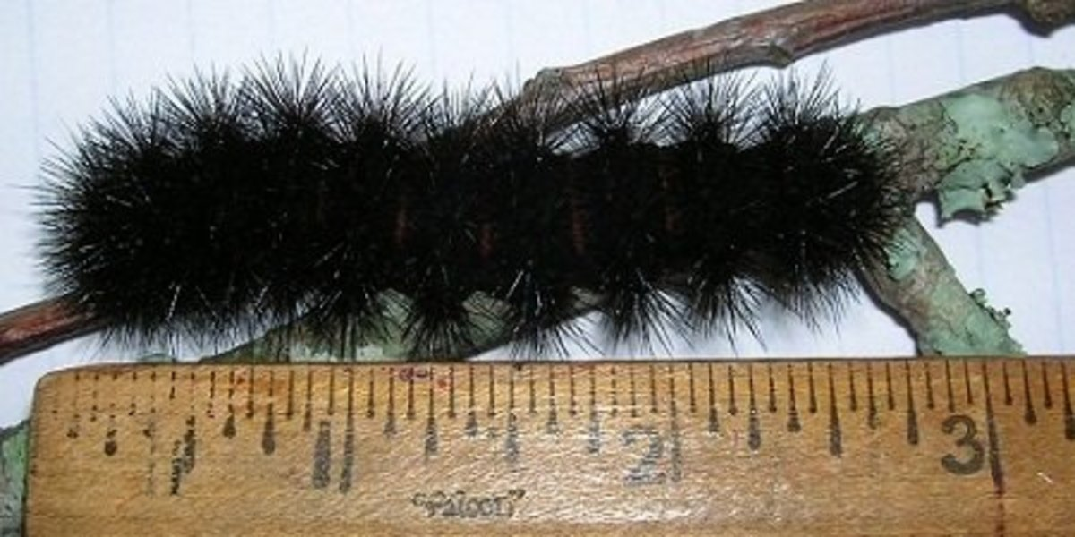 A full-grown bristly black caterpillar is about three inches long.
