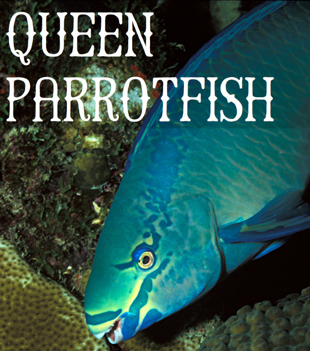 Queen Parrotfish. Licensed under CC BY 2.0 via Commons