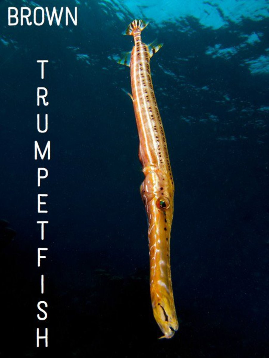 Brown Trumpetfish