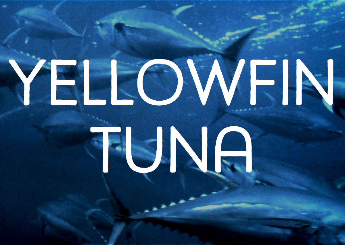 Schooling Yellow Fin Tuna. Licensed under Public Domain via Commons