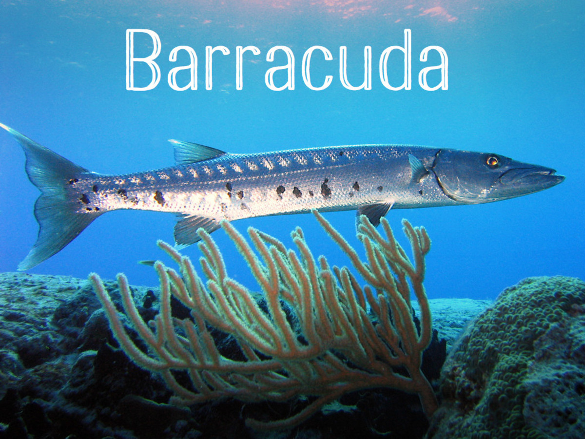 A Barracuda