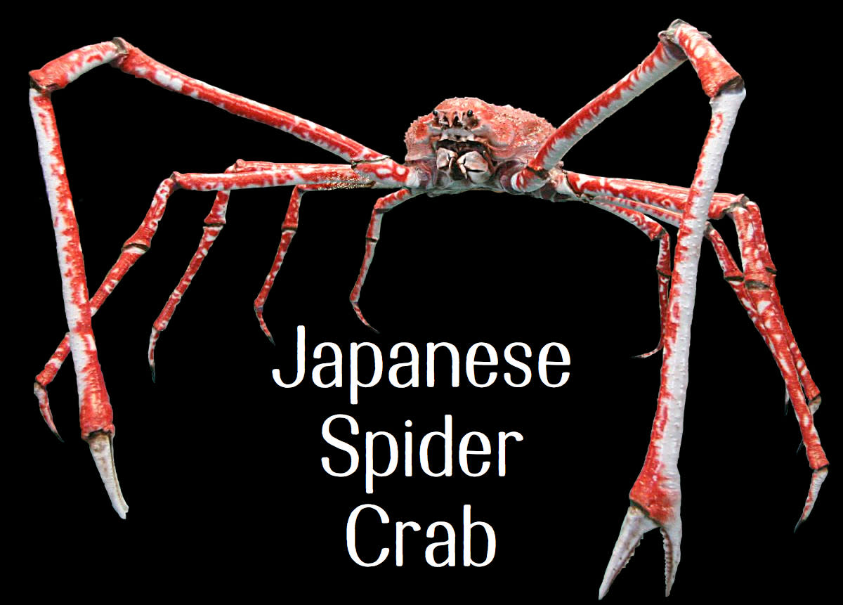Japanese Spider Crab. Licensed under CC BY 2.5