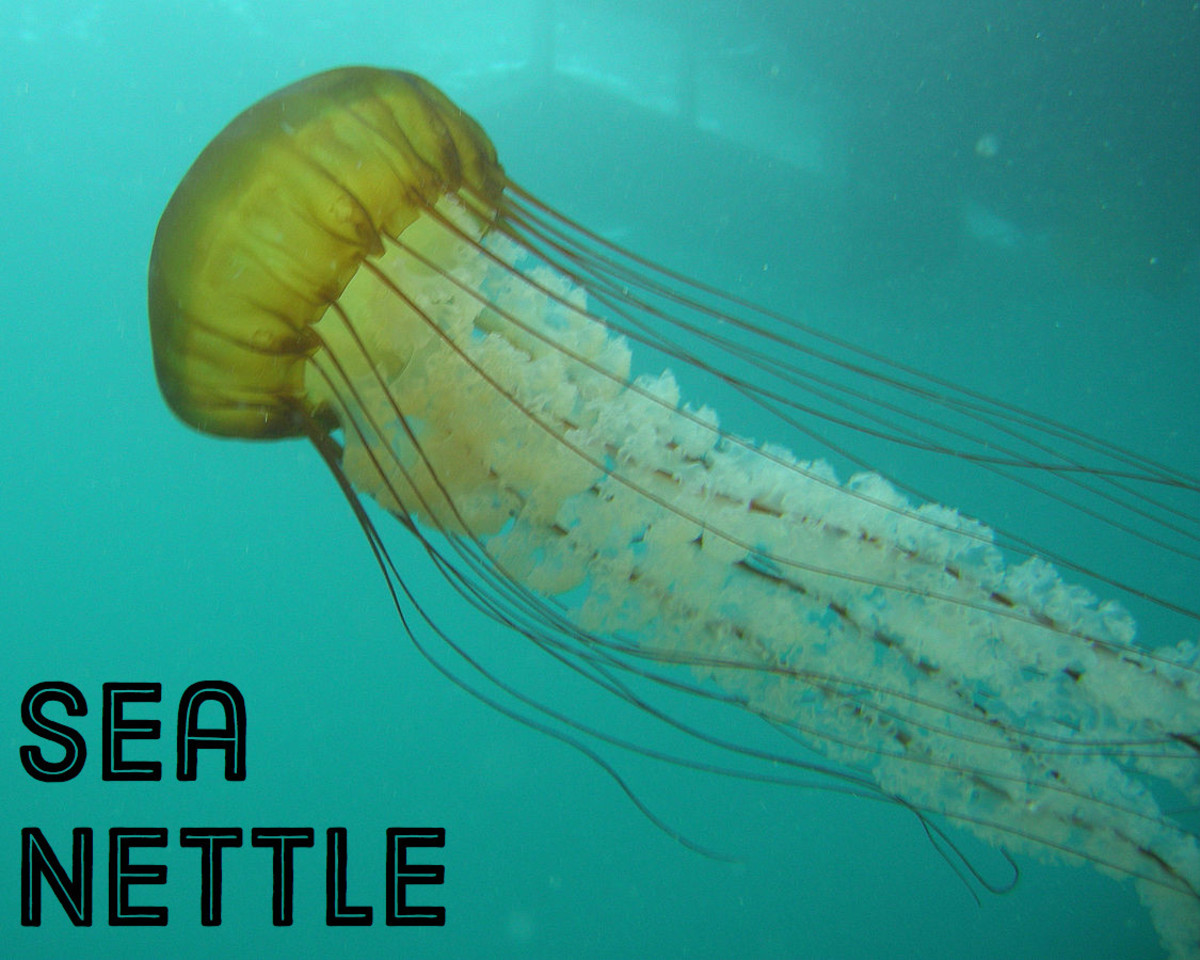 Sea Nettle. Licensed under CC BY 2.0 via Commons