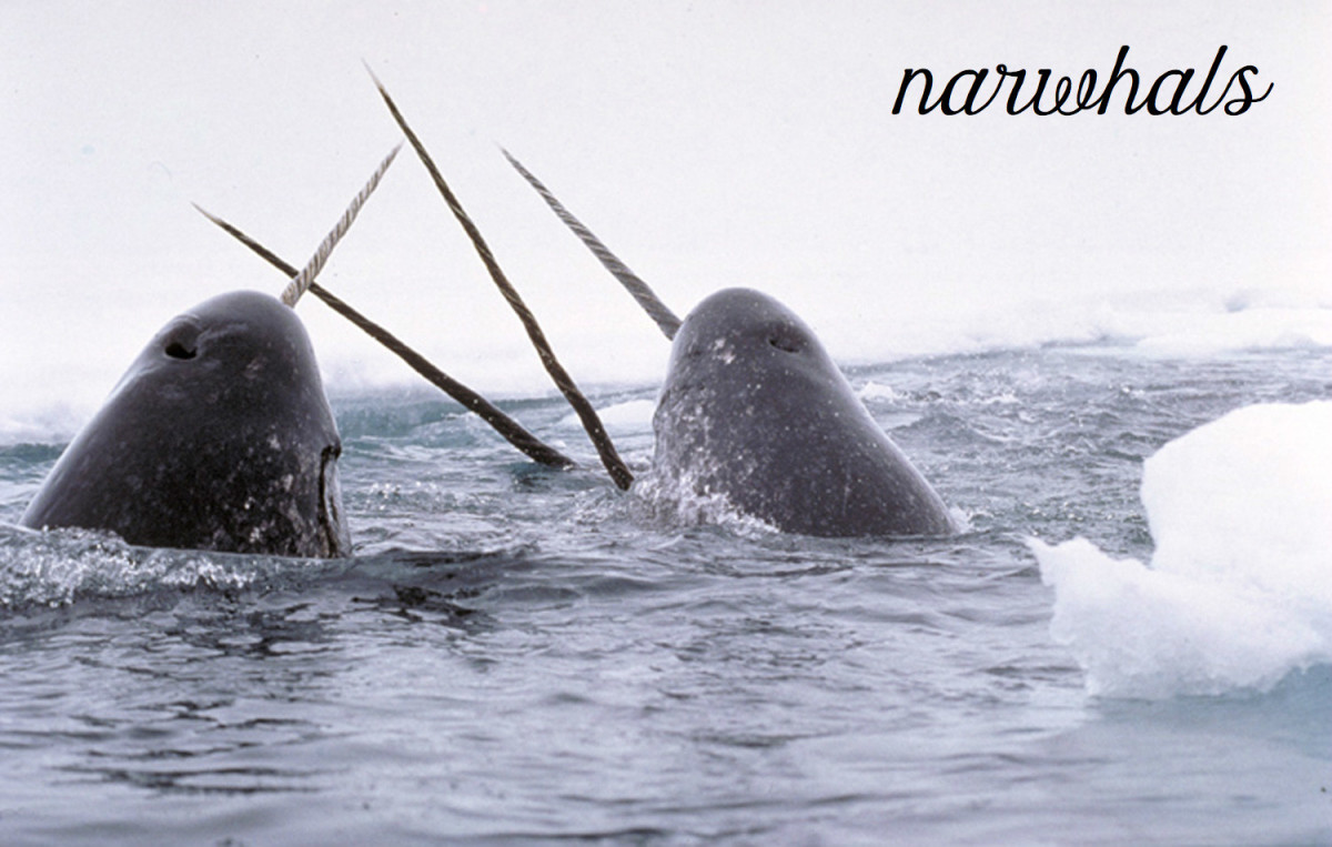 Narwhals. Licensed under Public Domain via Commons