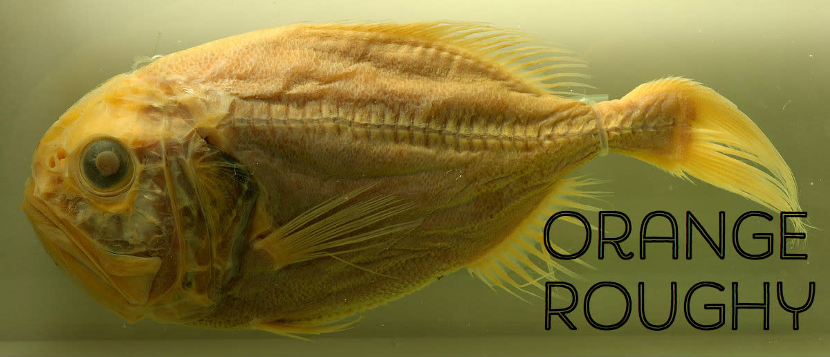 A preserved orange roughy fish