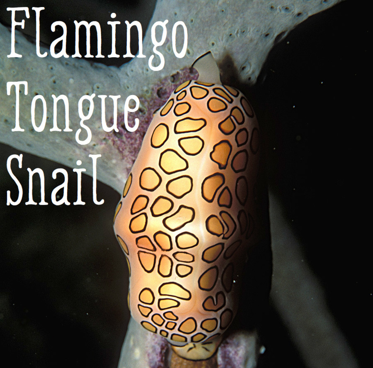 "Flamingo Tongue Snail. ""Cyphoma gibbosum (living) 2"" by LASZLO ILYES (laszlo-photo) from Cleveland, Ohio, USA - Flickr. Licensed under CC BY 2.0 via Commons"