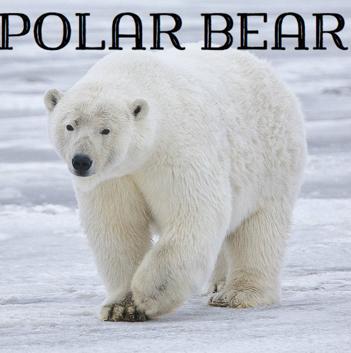 Polar Bear. Licensed under CC BY-SA 3.0 via Commons