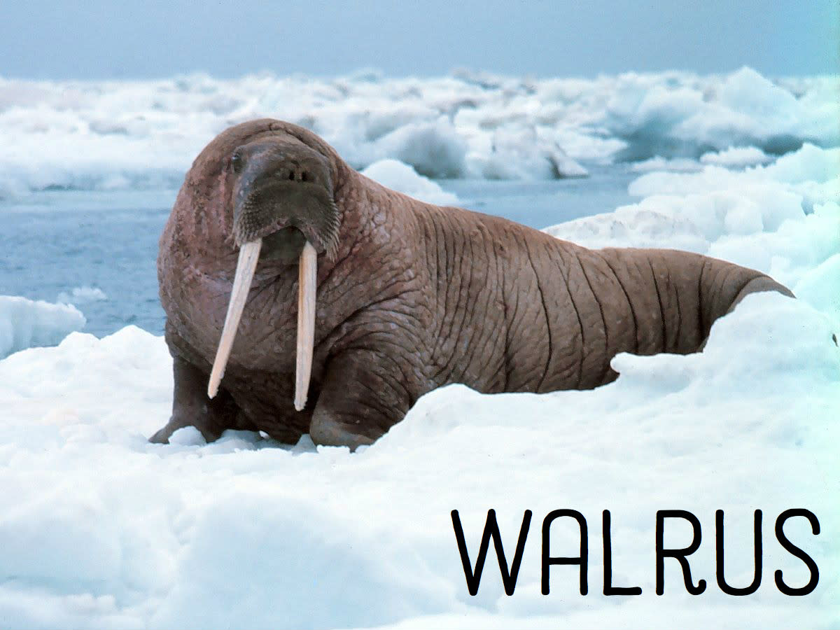 Walrus. Licensed under Public Domain via Commons