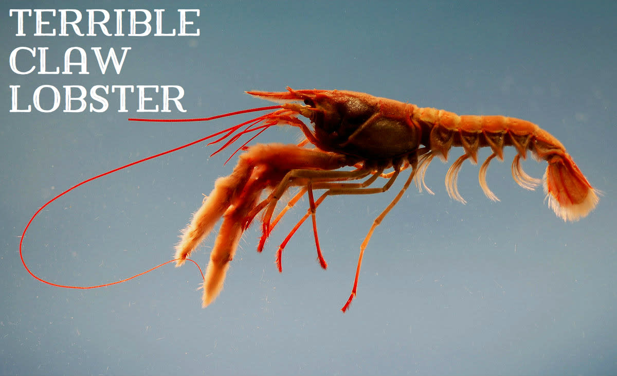 Terrible Claw Lobster; Licensed under Public Domain via Commons