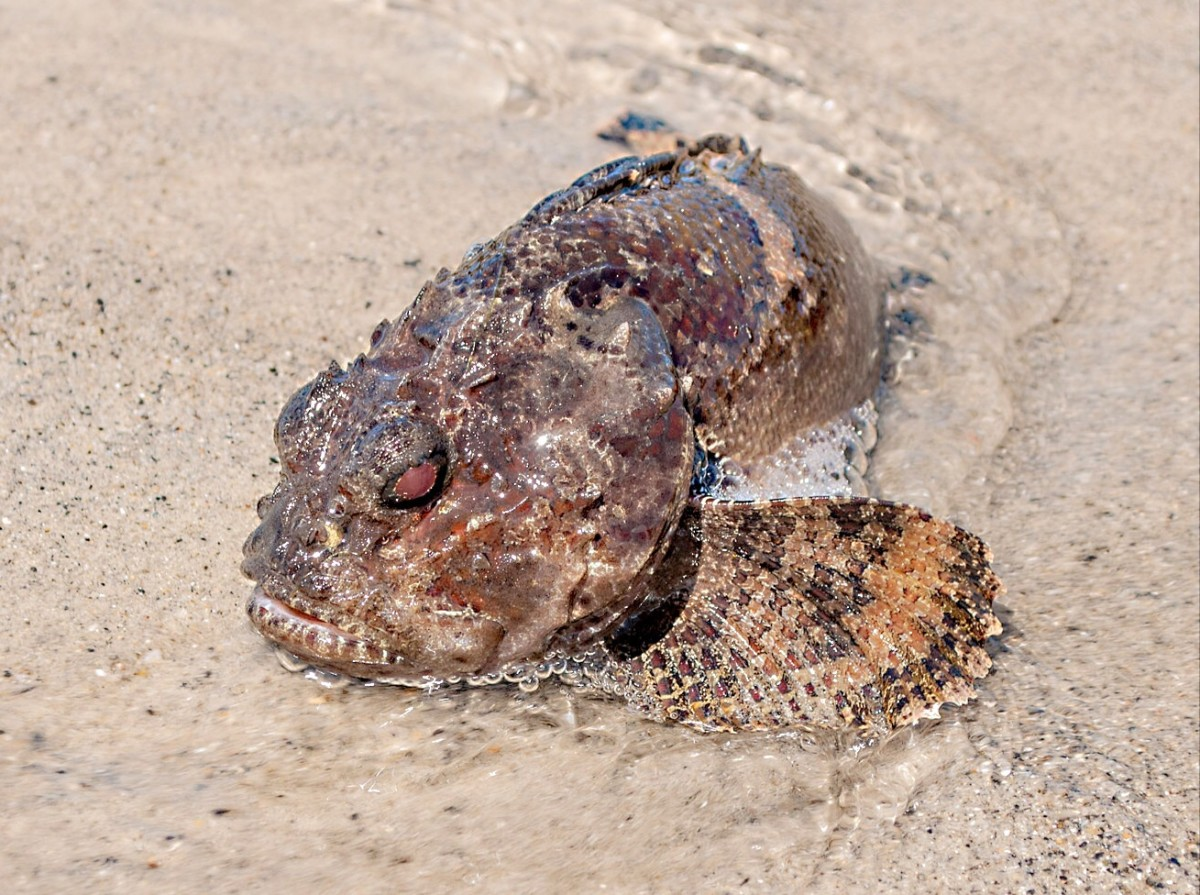 The Bocon toadfish is in the same family as the three-spined toadfish. Toadfish are known for their ability to produce sounds.