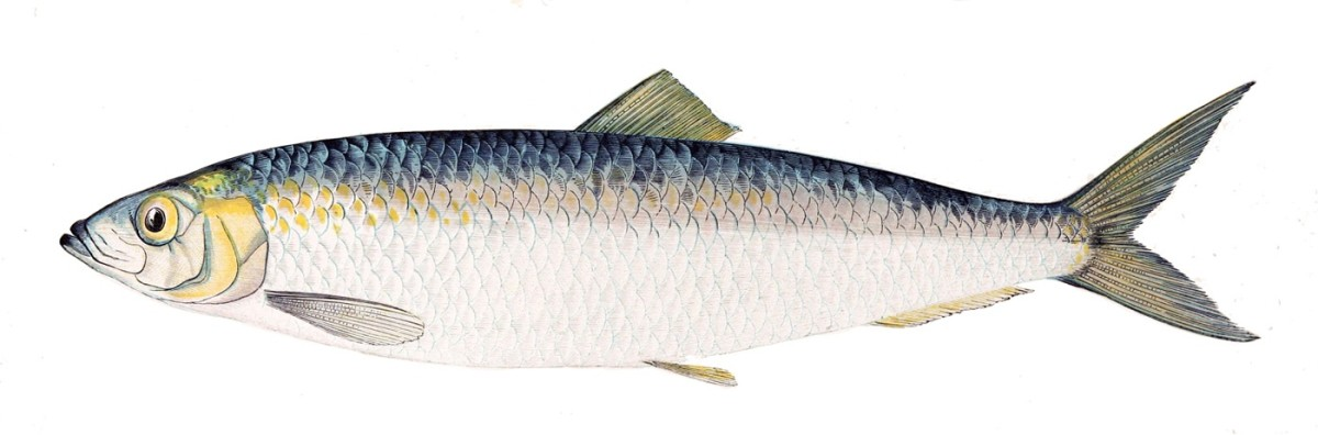 An Atlantic Herring