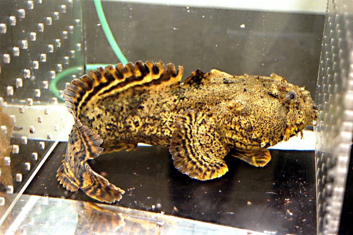 The oyster toadfish produces sound by the action of its sonic muscle on its swim bladder.