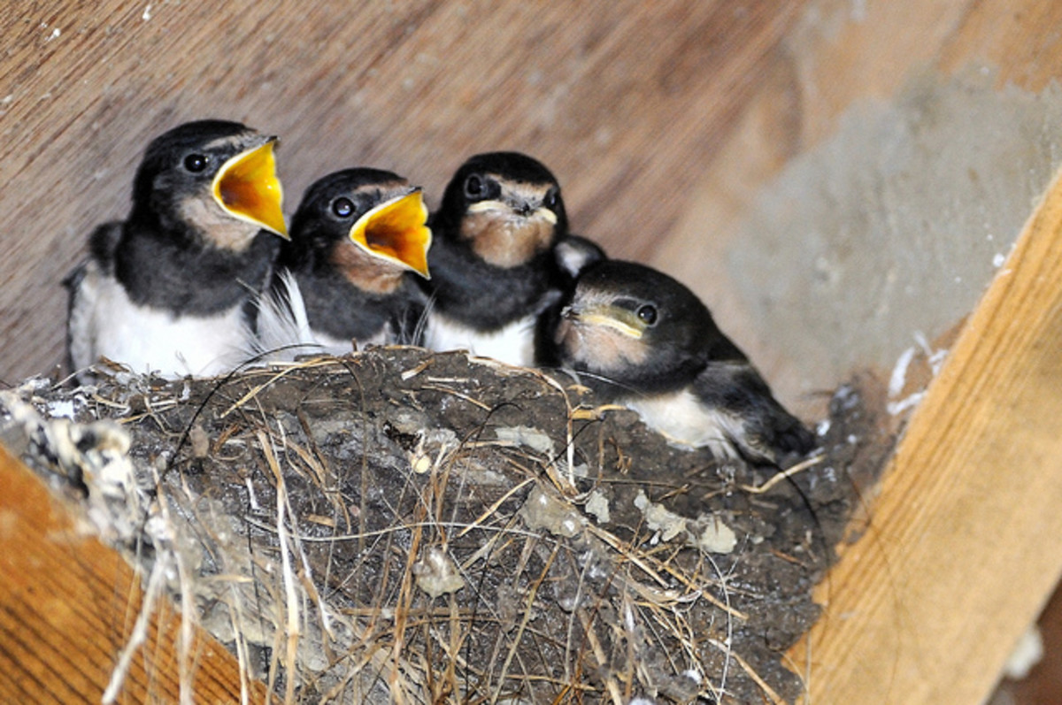 Barn Swallow Nest with Chicks
