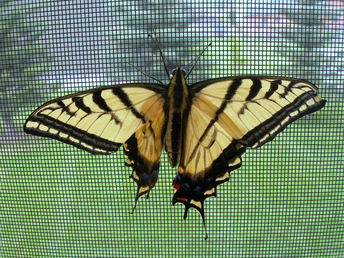 This is Mary, a beautiful Swallowtail butterfly with a crippled left hind-wing.