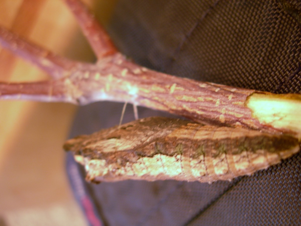 After the pre-pupa has transformed into the chrysalis, the girdle can still be seen.
