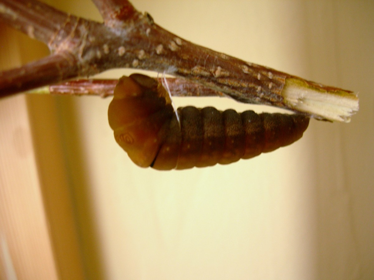 You can see the girdle about 1/3rd of the way down the caterpillar.  This thread holds the caterpillar parallel to the branch.