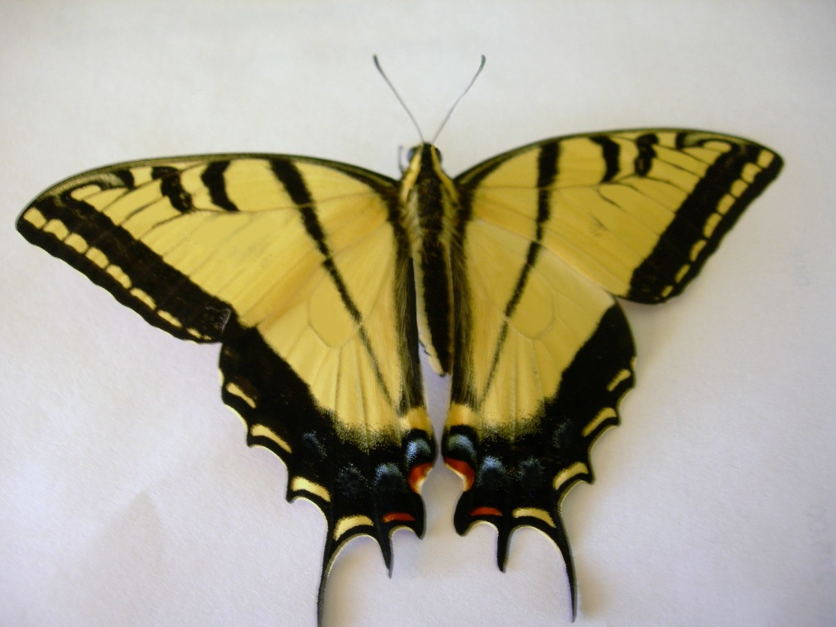 Male Two-tailed Swallowtail