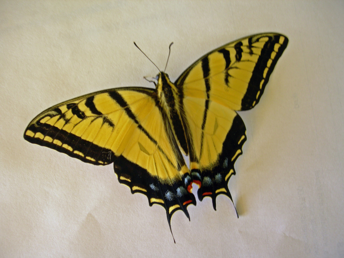 Female two-tailed Swallowtail