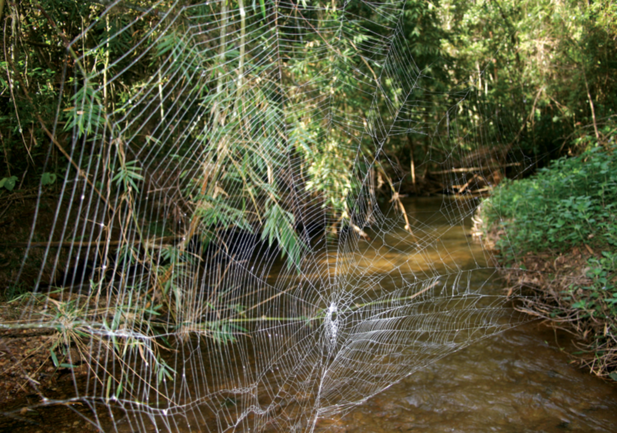 Webs can reach 25 m across a river (perhaps more)