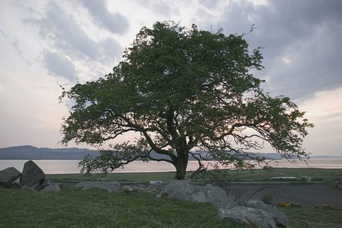 'Fairy trees' are left standing for fear of bad luck in Irish folklore.