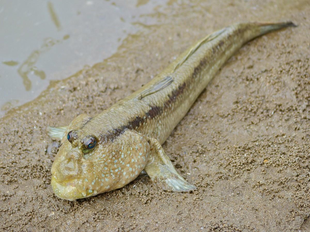 The giant mudskipper, or Periopthalmodon schlosseri, in Malayasia