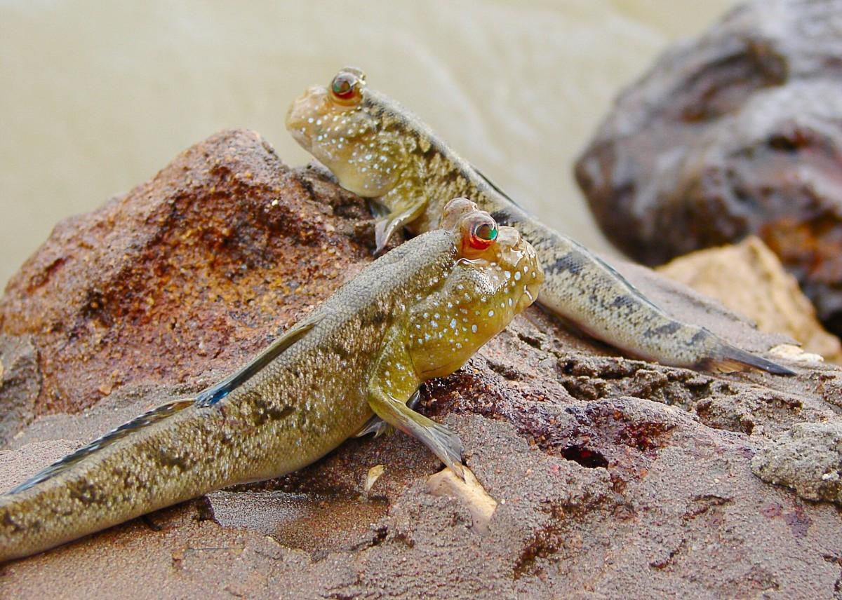 Gambian mudskippers