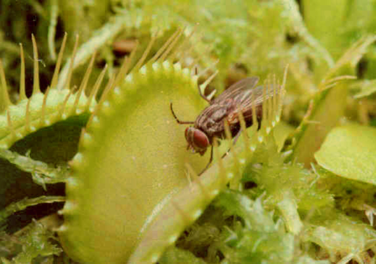 Flies, will you ever learn?  Do NOT go near the plant with jaws!