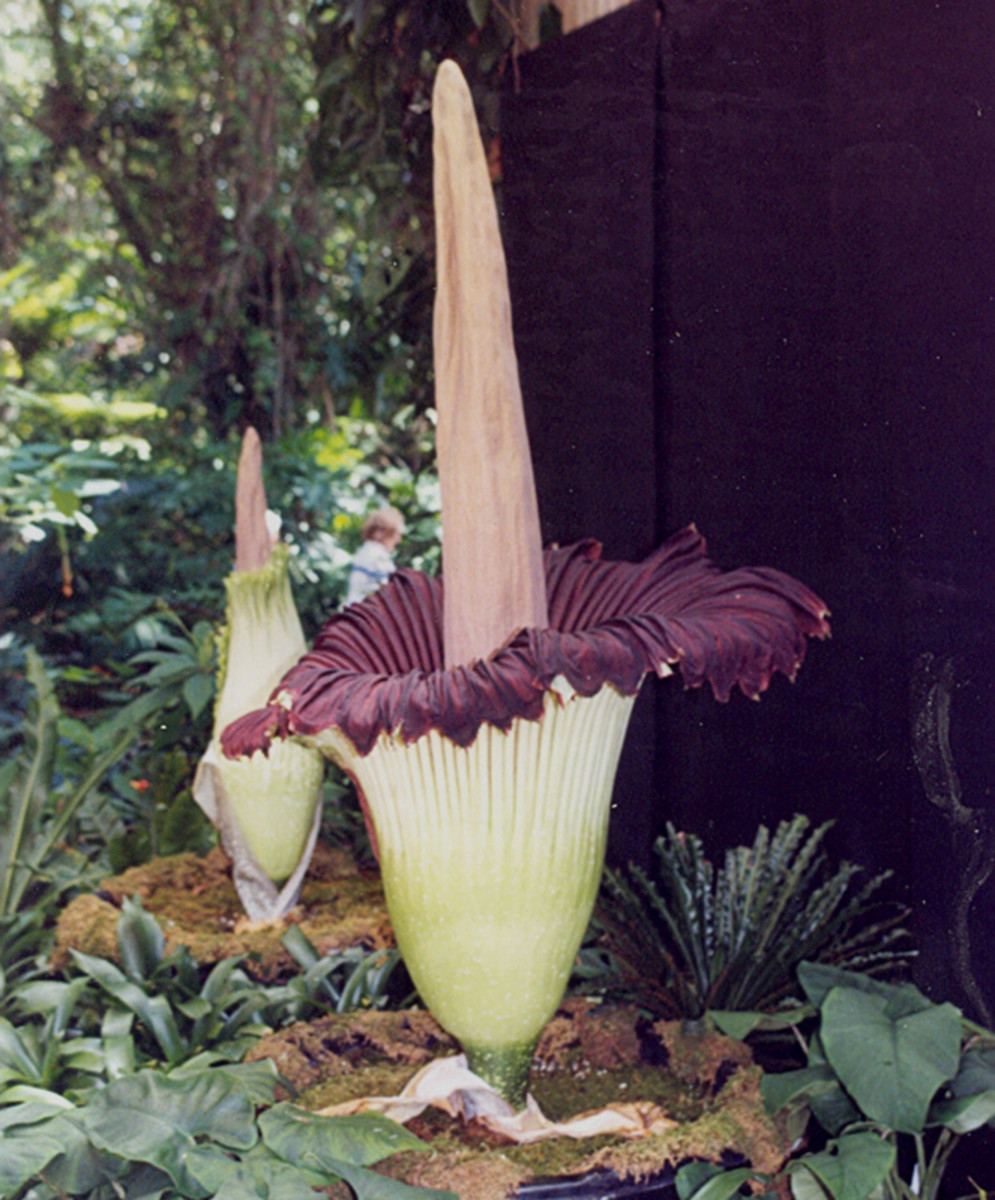Corpse Flower, Titan Arum. Not only is it ugly, it smells like a corpse. Luckily only 28 have bloomed in the United States.
