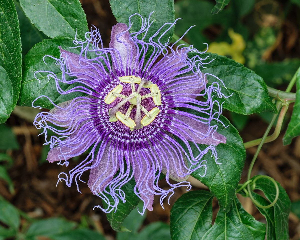 Passiflora incarnata, Passion Vine, purple petals and purple corona filaments variety, at the Butterfly Garden at Norfolk Botanical Garden, Norfolk, Virginia.