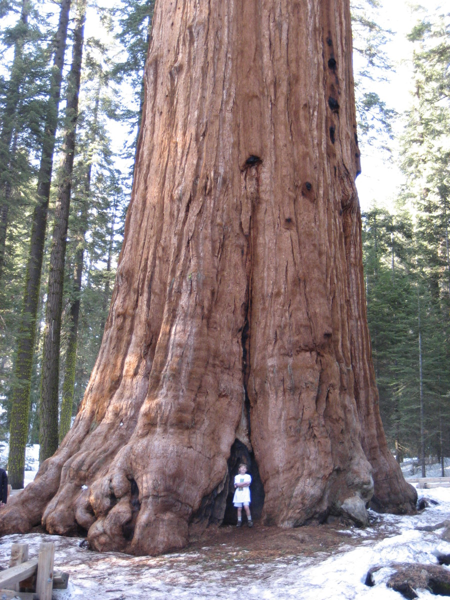 """General Sherman"" tree. World's Largest Single-Stem Tree:  ""General Sherman"" Giant Sequoia"