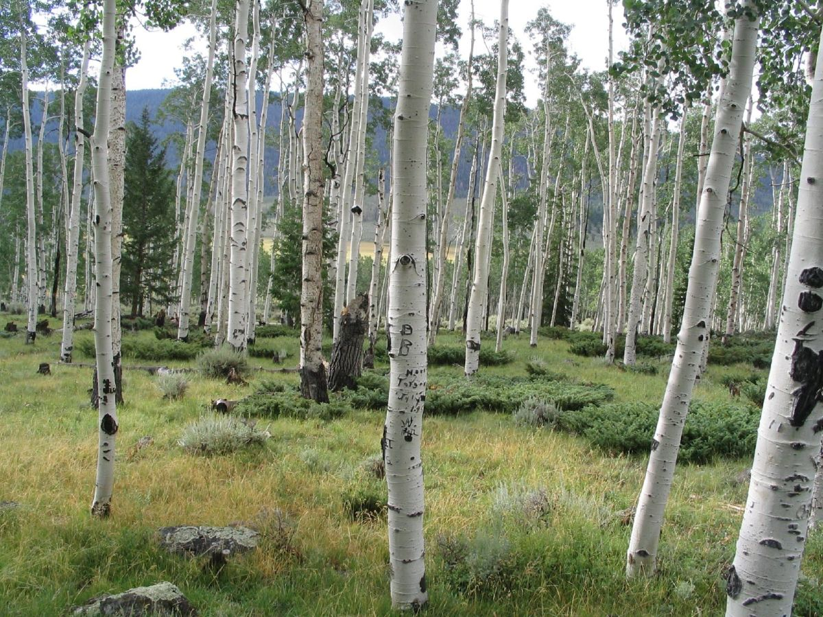 Fish Lake in Southern Utah.  The Pando quaking aspen colony is within a mile of Fish Lake; these trunks may be part of Pando. World's Largest Tree By Area and Volume:  Pando, the Quaking Aspen