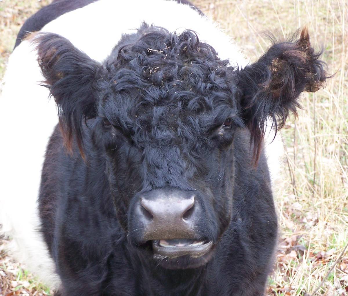 Emma a 6 year old Beltie cow showing off her thick curly coat