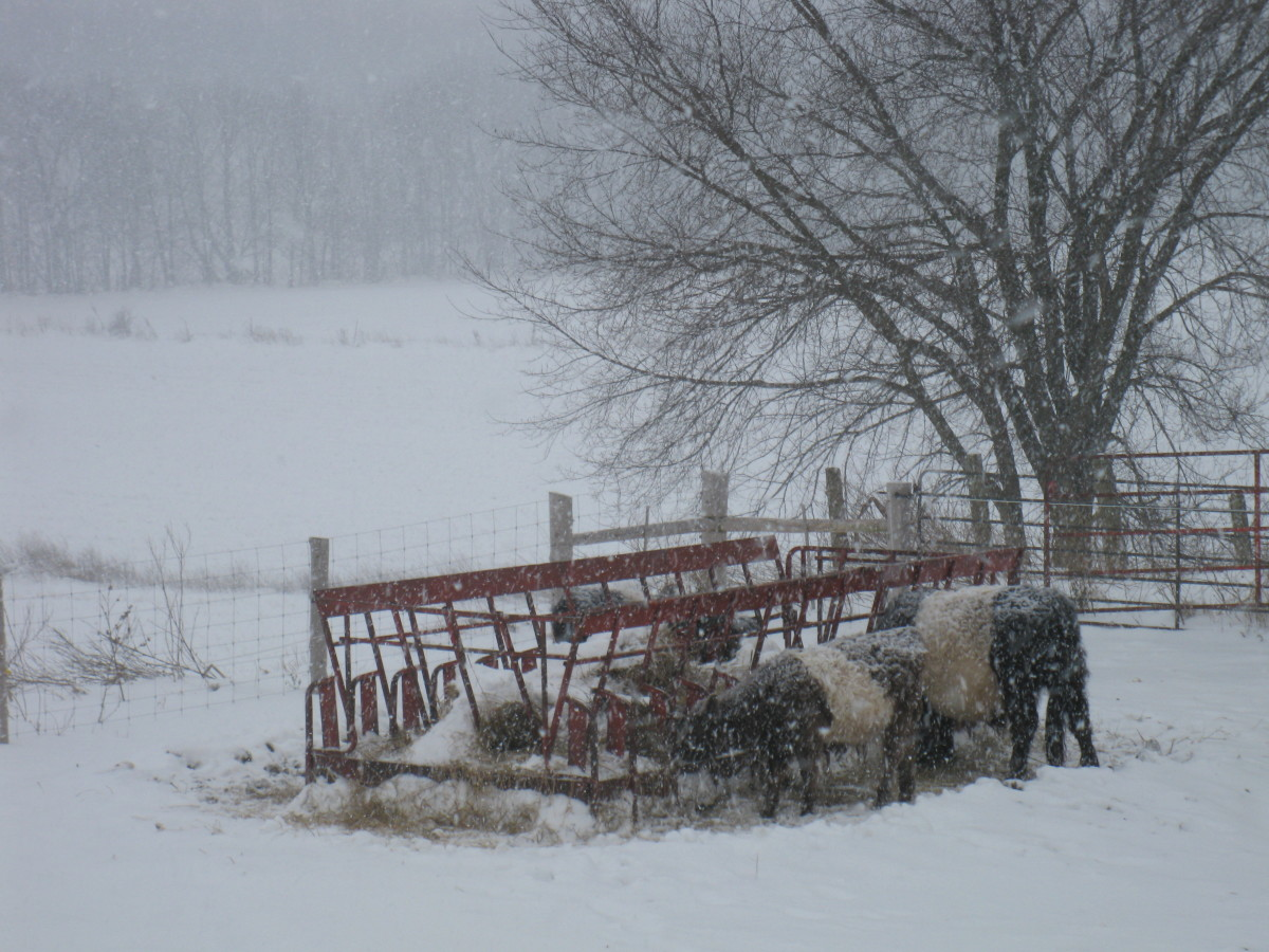 Belted galloways at the hay feeder out in the snow