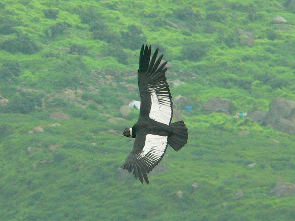 the-black-vulture-and-the-turkey-vulture