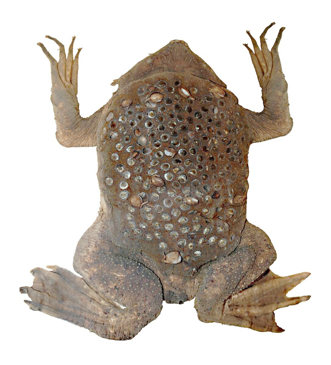 A preserved female Surinam toad, showing the chambers where the young toads developed.