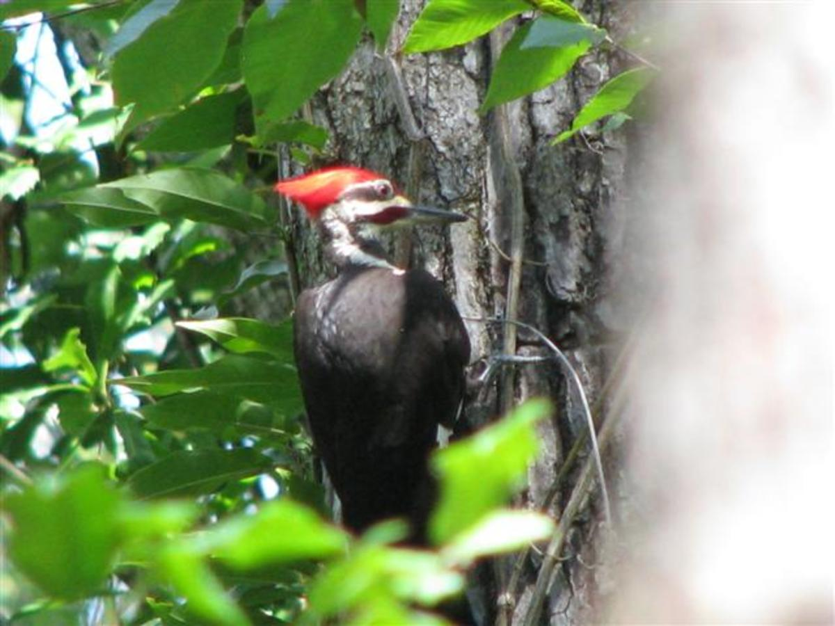 Male Pileated Woodpecker hunting for insects.