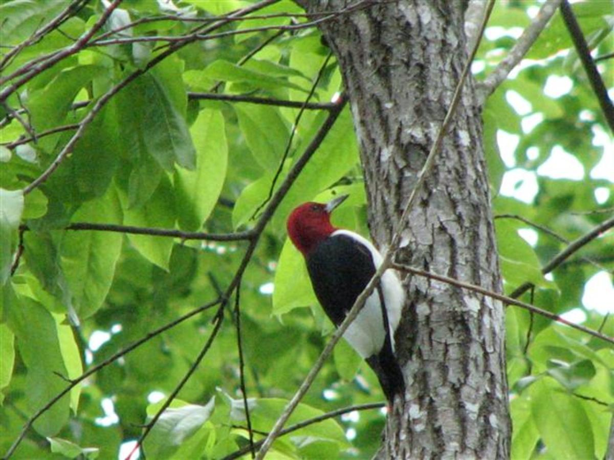 Red headed on a sourwood tree.