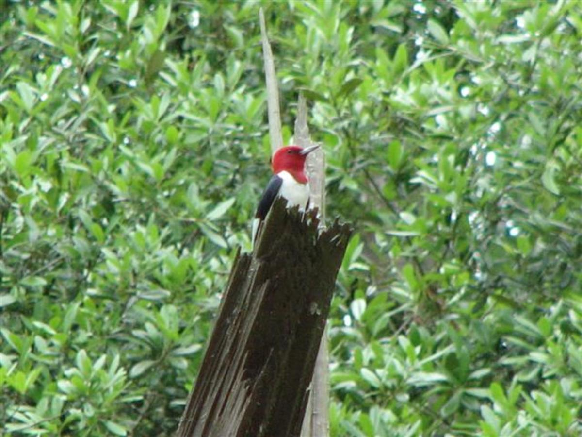 Red-headed woodpeckers often sit high on a snag and proclaim their territory with calls and drumming.