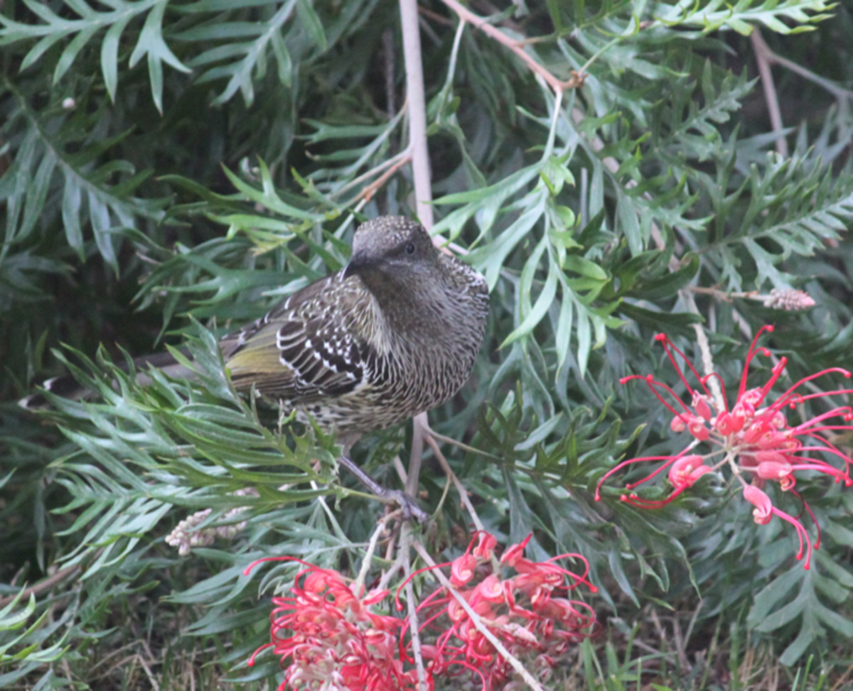 Young wattle bird looking very inquisitive!