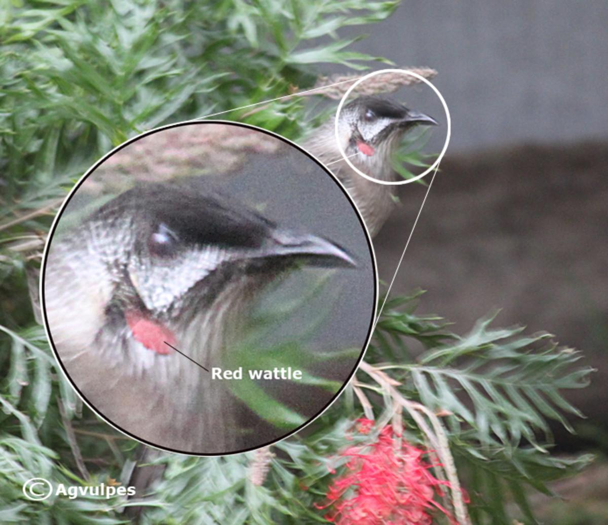 The Wattle of  the Red Wattle Bird.