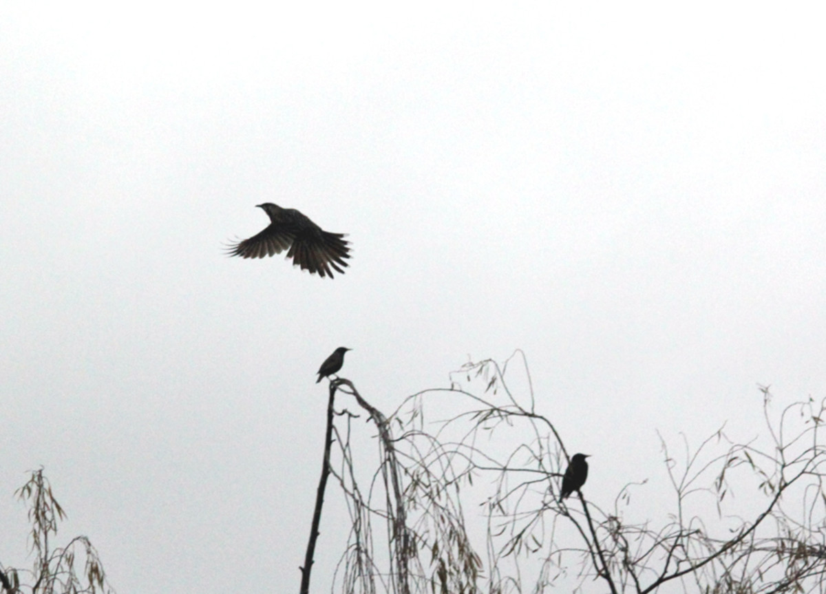 Wattle bird hovering in the air or 'hawking' its prey.