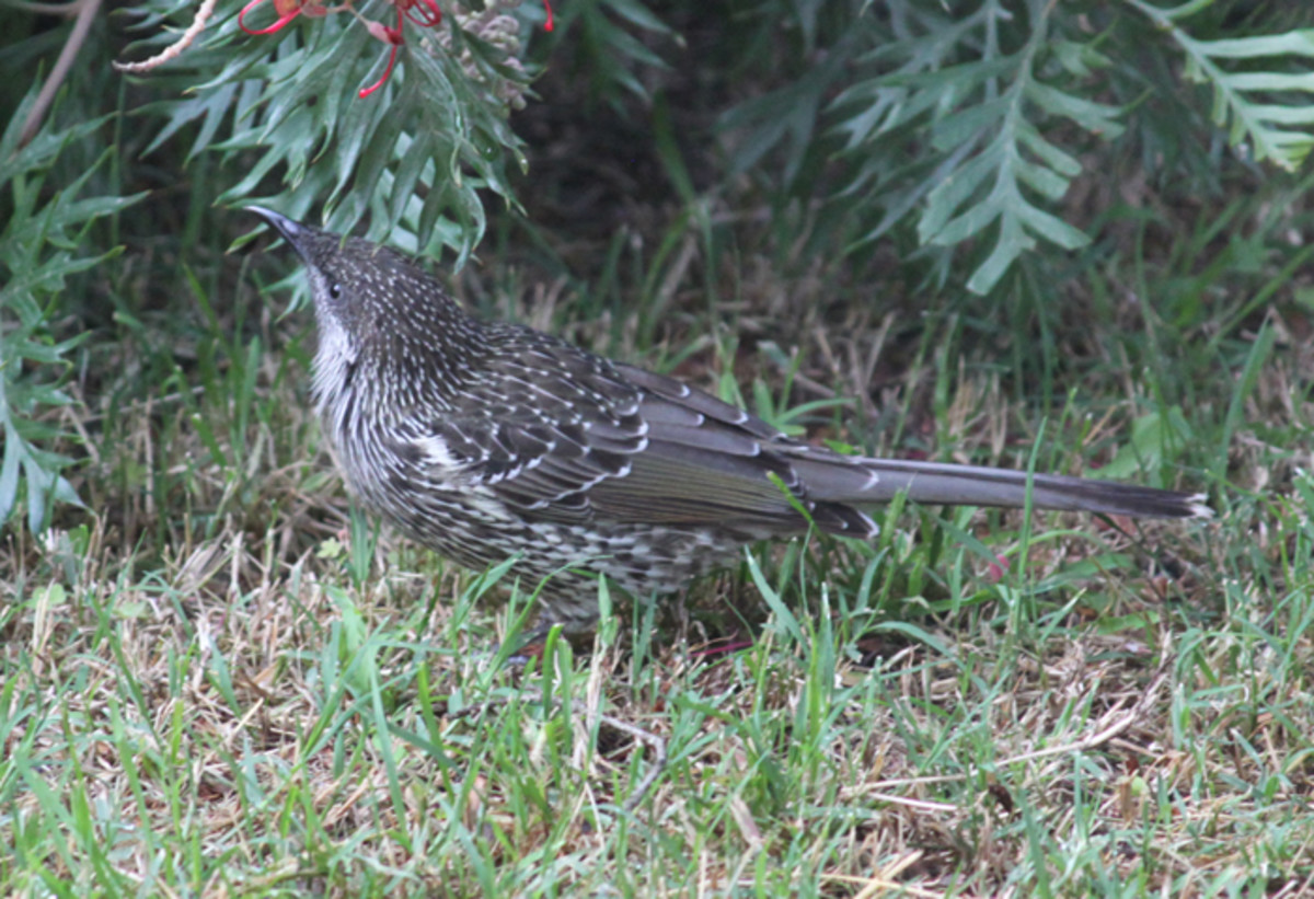 Little Wattle Bird on the ground. This is unusual for me as you don't often see them walking!