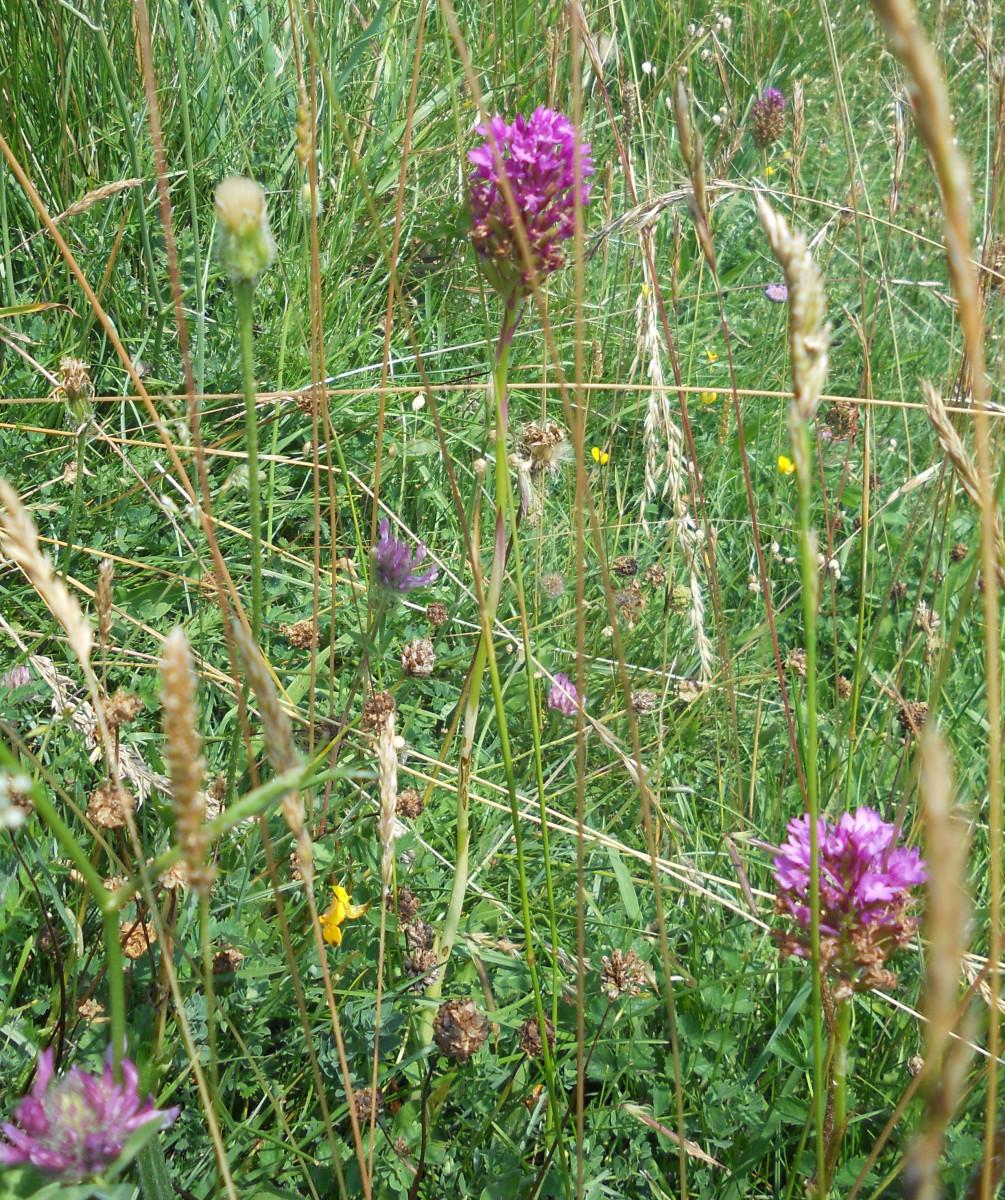 Pyramidal orchids grow on a grassy hillside.