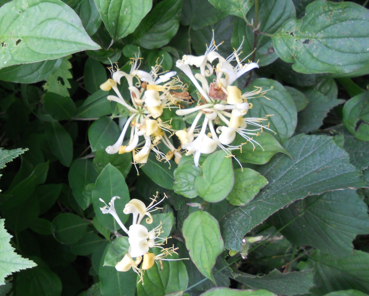 Wild honeysuckle flowers grow in a hedgerow.